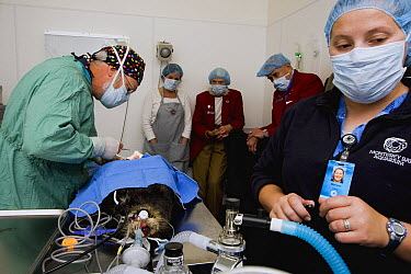 Sea Otter (Enhydra lutris) veterinarians Mike Murray and Marissa Viens performing surgery on rescued otter as volunteers look on, Monterey Bay Aquarium, Monterey Bay, California  -  Sebastian Kennerknecht