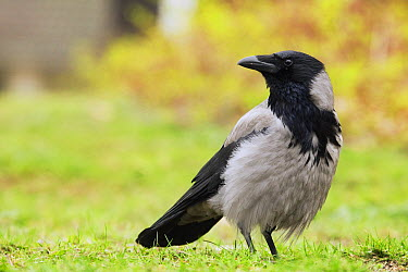 Hooded Crow (Corvus cornix), Berlin, Germany  -  Sebastian Kennerknecht