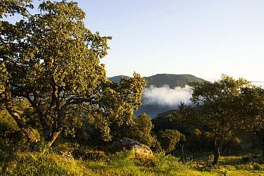 Holm Oak (Quercus ilex) trees in mediterranean forest, Sierra de Andujar Natural Park, Sierra de Andujar, Sierra Morena, Andalusia, Spain  -  Sebastian Kennerknecht
