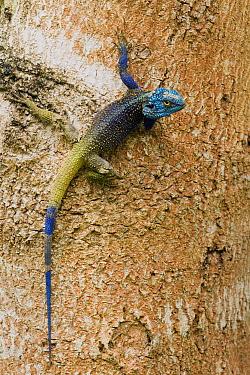 Southern Tree Agama (Acanthocercus atricollis) male in breeding coloration, Kibale National Park, western Uganda  -  Sebastian Kennerknecht