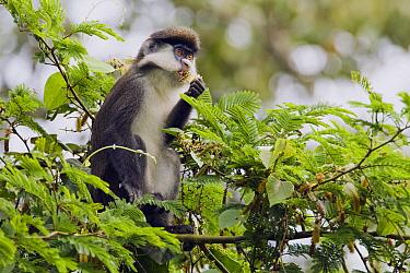 Red-tail Monkey (Cercopithecus ascanius) feeding on flowers in tree, Kibale National Park, western Uganda  -  Sebastian Kennerknecht