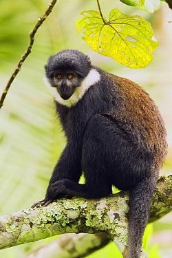 L'hoest's Guenon (Cercopithecus lhoesti) in tree, Bigodi Wetland Sanctuary, Magombe Swamp, western Uganda  -  Sebastian Kennerknecht