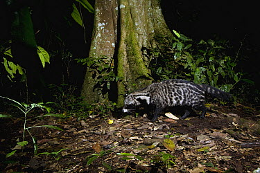 African Civet (Civettictis civetta) walking through rainforest at night, Kibale National Park, western Uganda  -  Sebastian Kennerknecht