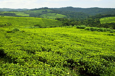 Tea plantation bordering protected rainforest, Kibale National Park, western Uganda  -  Sebastian Kennerknecht