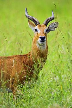 Kob (Kobus kob) male, Toro-Semliki Wildlife Reserve, Western Rift Valley, Great Rift Valley, western Uganda  -  Sebastian Kennerknecht