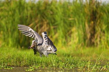 Shoebill (Balaeniceps rex) landing with fish prey, Lake Albert, Toro-Semliki Wildlife Reserve, Western Rift Valley, Great Rift Valley, western Uganda  -  Sebastian Kennerknecht