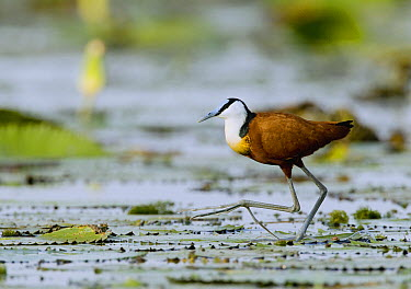 African Jacana (Actophilornis africanus) walking on floating lily pads, Lake Albert, Toro-Semliki Wildlife Reserve, Western Rift Valley, Great Rift Valley, western Uganda  -  Sebastian Kennerknecht