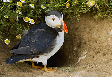 Atlantic Puffin (Fratercula arctica) at nest burrow, Skomer Island National Nature Reserve, Skomer Island, Pembrokeshire, Wales, United Kingdom  -  Sebastian Kennerknecht