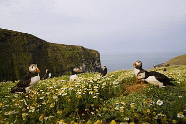 Atlantic Puffin (Fratercula arctica) group at coastal breeding colony, Skomer Island National Nature Reserve, Skomer Island, Pembrokeshire, Wales, United Kingdom  -  Sebastian Kennerknecht