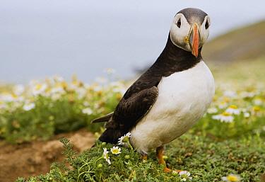 Atlantic Puffin (Fratercula arctica) in breeding plumage, Skomer Island National Nature Reserve, Skomer Island, Pembrokeshire, Wales, United Kingdom  -  Sebastian Kennerknecht