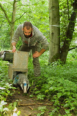 Eurasian Badger (Meles meles) biologist, Michael Noonan, releasing female after medical examination, Wytham Woods, England, United Kingdom  -  Sebastian Kennerknecht