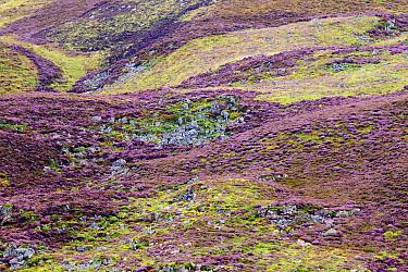 Heather (Calluna vulgaris) flowering in moorland, Scottish Highlands, Cairngorms National Park, Scotland, United Kingdom  -  Sebastian Kennerknecht