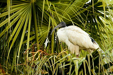 Australian Ibis (Threskiornis moluccus) in palm tree, Royal Botanic Gardens, Sydney, New South Whales, Australia  -  Sebastian Kennerknecht