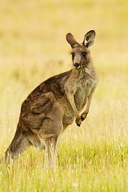 Eastern Grey Kangaroo (Macropus giganteus) female, Mount Taylor Nature Reserve, Canberra, Australian Capital Territory, Australia  -  Sebastian Kennerknecht