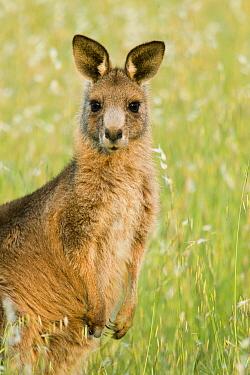 Eastern Grey Kangaroo (Macropus giganteus) juvenile, Mount Taylor Nature Reserve, Canberra, Australian Capital Territory, Australia  -  Sebastian Kennerknecht