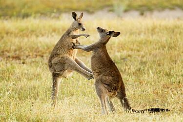 Eastern Grey Kangaroo (Macropus giganteus) juveniles boxing as part of play-fighting, Mount Taylor Nature Reserve, Canberra, Australian Capital Territory, Australia  -  Sebastian Kennerknecht