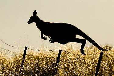 Eastern Grey Kangaroo (Macropus giganteus) mother jumping over fence with joey in pouch, Mount Taylor Nature Reserve, Canberra, Australian Capital Territory, Australia  -  Sebastian Kennerknecht