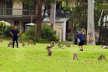 Eastern Grey Kangaroo (Macropus giganteus) mob grazing on golf course around men playing, Jervis Bay, New South Wales, Australia  -  Sebastian Kennerknecht