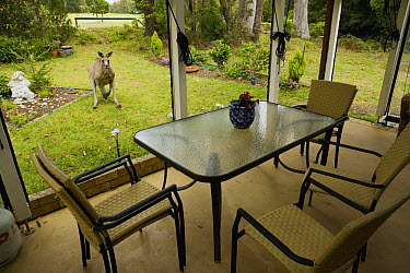 Eastern Grey Kangaroo (Macropus giganteus) male in backyard, Jervis Bay, New South Wales, Australia  -  Sebastian Kennerknecht