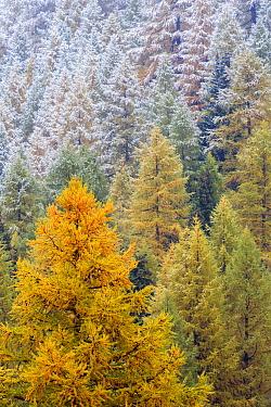 European Larch (Larix decidua) snowy forest in autumn, Alps, Switzerland  -  Heike Odermatt