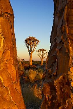 Quiver Tree (Aloe dichotoma) group, Keetmanshoop, Namibia  -  Vincent Grafhorst