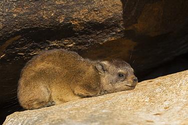 Rock Hyrax (Procavia capensis) juvenile resting, Keetmanshoop, Namibia  -  Vincent Grafhorst