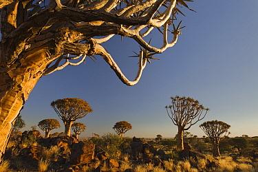 Quiver Tree (Aloe dichotoma) group on grassland, Keetmanshoop, Namibia  -  Vincent Grafhorst