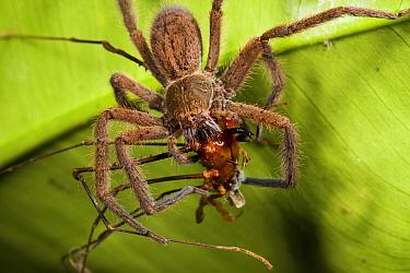 Wandering Spider (Cupiennius sp) female feeding on Harvestman (Ventrivomer sp) male, Mindo, Ecuador  -  James Christensen