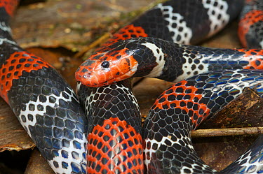 Anchor Coralsnake (Micrurus ancoralis), Septimo Paraiso Cloud Forest Reserve, Mindo, Ecuador  -  James Christensen