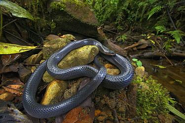 Equatorial Mussurana (Clelia equatoriana) snake in rainforest, Septimo Paraiso Cloud Forest Reserve, Mindo, Ecuador  -  James Christensen