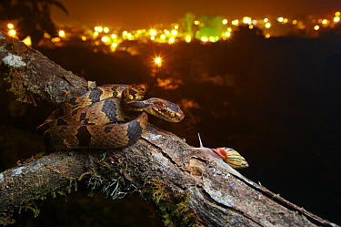 Andean Snail-eater (Dipsas andiana) female and Land Snail (Drymaeus sp) prey near city, Mindo, Ecuador  -  James Christensen