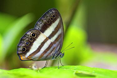 Nymphalid Butterfly (Pareuptychia sp), Ecuador  -  James Christensen