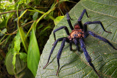 Funnel-web Tarantula (Linothele sp) male in rainforest, Hacienda San Vicente, Mindo, Ecuador  -  James Christensen