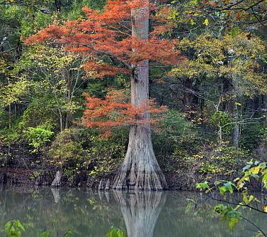 Bald Cypress (Taxodium distichum) tree in swamp, White River National Wildlife Refuge, Arkansas  -  Tim Fitzharris