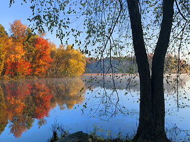 Black Birch (Betula nigra) tree on lakeshore, Lake Bailee, Petit Jean State Park, Arkansas  -  Tim Fitzharris