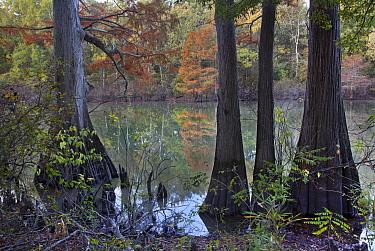 Tupelo (Nyssa aquatica) and Bald Cypress (Taxodium distichum) trees, White River National Wildlife Refuge, Arkansas  -  Tim Fitzharris