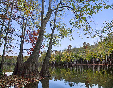 Tupelo (Nyssa aquatica) trees along river, White River National Wildlife Refuge, Arkansas  -  Tim Fitzharris