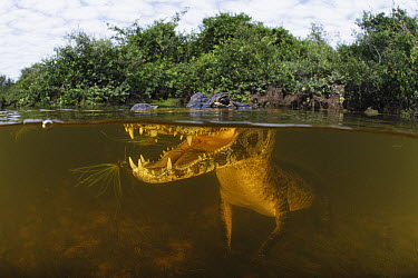 Jacare Caiman (Caiman yacare)fishing in wetland, Pantanal, Brazil  -  Luciano Candisani