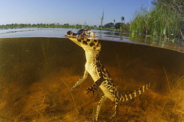 Jacare Caiman (Caiman yacare) young in wetland, Pantanal, Brazil  -  Luciano Candisani