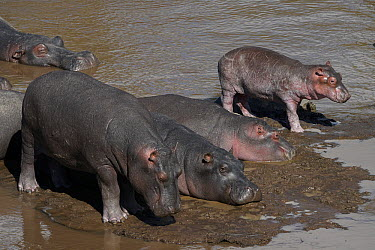 Hippopotamus (Hippopotamus amphibius) calves, Okavango Delta, Botswana  -  Hiroya Minakuchi