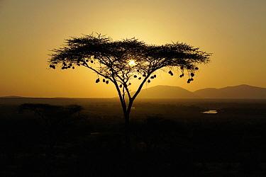 Acacia (Acacia sp) tree with weaver bird nests silhouetted at dawn, Masai Mara, Kenya  -  Hiroya Minakuchi