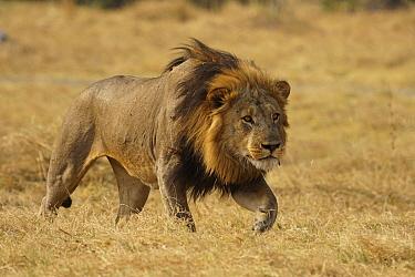 African Lion (Panthera leo) male stalking, Masai Mara, Kenya  -  Hiroya Minakuchi
