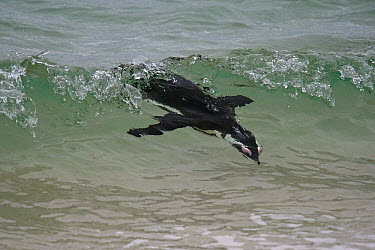 Black-footed Penguin (Spheniscus demersus) surfing, Boulders Beach, Cape Town, South Africa  -  Hiroya Minakuchi