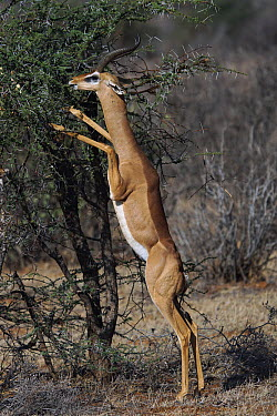 Gerenuk (Litocranius walleri) male browsing, Samburu National Park, Kenya  -  Hiroya Minakuchi
