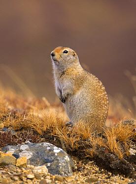 Arctic Ground Squirrel (Spermophilus parryii), North America  -  Mark Raycroft