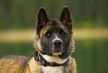 Akita (Canis familiaris)  -  Mark Raycroft