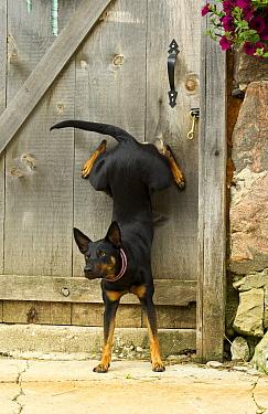 Australian Kelpie (Canis familiaris) doing handstand  -  Mark Raycroft