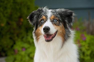 Australian Shepherd (Canis familiaris)  -  Mark Raycroft