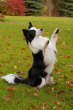 Border Collie (Canis familiaris) sitting up and raising paws  -  Mark Raycroft
