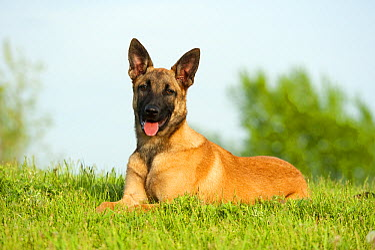 Belgian Malinois (Canis familiaris)  -  Mark Raycroft